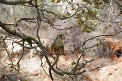 Scimmia su un ramo Immagini Stock