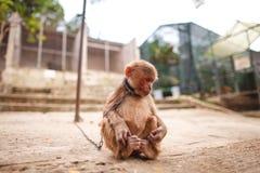 Scimmia su una catena Fotografie Stock Libere da Diritti