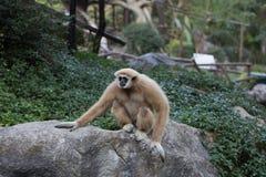 Scimmia su una pietra Fotografie Stock Libere da Diritti