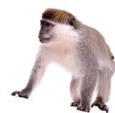 Scimmia sui precedenti bianchi Fotografie Stock Libere da Diritti