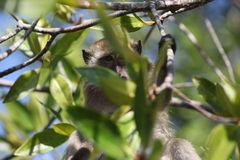 Scimmia sull'albero Immagine Stock Libera da Diritti