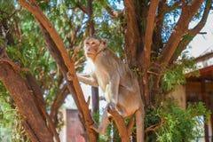 Scimmia sull'albero Fotografie Stock Libere da Diritti