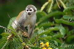 Scimmia sull'albero Fotografia Stock