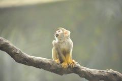 Scimmia sulla filiale Fotografia Stock