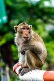 Scimmia sulla guardia ferroviaria, Lopburi Tailandia Fotografia Stock
