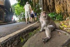 Scimmia sulla via nel centro di Ubud Fotografia Stock Libera da Diritti
