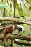 Scimmia superiore del tamarin del cotone Immagine Stock