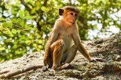 Scimmia sveglia che si siede sulla roccia Fotografia Stock