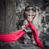 Scimmia sveglia con una sciarpa rossa Fotografie Stock