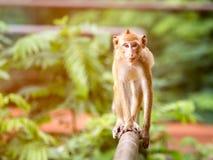 Scimmia sveglia di Brown che cammina sul recinto nell'ambito della luce calda Fotografia Stock Libera da Diritti