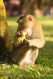 Scimmia in Tailandia Fotografie Stock