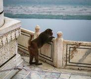 Scimmia in Taj Mahal Fotografie Stock