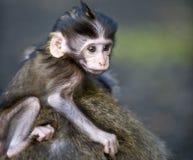 Scimmia timida del bambino Immagine Stock