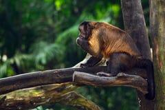 Scimmia trapuntata del cappuccino Fotografie Stock Libere da Diritti