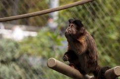 Scimmia trapuntata del cappuccino Fotografia Stock