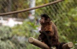 Scimmia trapuntata del cappuccino Immagini Stock