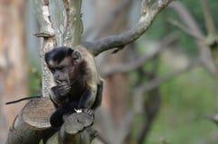 Scimmia trapuntata del cappuccino che si siede su un ramo basso in un albero Fotografia Stock Libera da Diritti