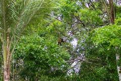 Scimmia trapuntata del cappuccino sulla natura in Pantanal, Brasile Immagine Stock Libera da Diritti