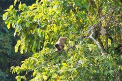 Scimmia trapuntata del cappuccino sulla natura in Pantanal, Brasile Fotografia Stock
