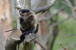 Scimmia trapuntata del cappuccino in un cibo dell'albero Fotografia Stock Libera da Diritti