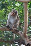Scimmia in tre fotografia stock libera da diritti