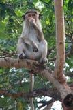 Scimmia in tre fotografia stock