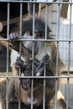 Scimmia triste Immagine Stock