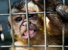 Scimmia triste allo zoo Junin, Perù fotografia stock libera da diritti