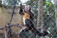 Scimmia triste con gli occhi persi con una banana in sue mani fotografia stock