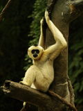 Scimmia in un albero fotografia stock