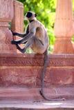 Scimmia in un tempiale Immagini Stock