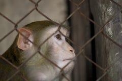 Scimmia in una gabbia Fotografia Stock