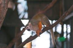 Scimmia variopinta che salta e che scala fotografie stock libere da diritti
