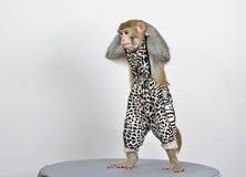 Scimmia viva vestita su fondo bianco Fotografia Stock