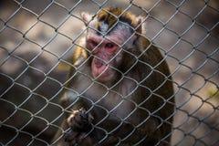 Scimmia in zoo dietro un recinto del metallo Fotografie Stock