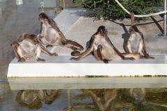 Scimmie Fotografie Stock Libere da Diritti