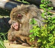 scimmie Fotografie Stock