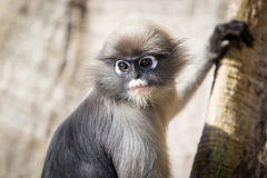 scimmie Immagine Stock