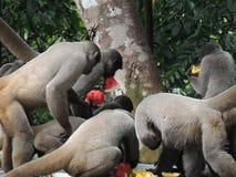 Scimmie affamate fotografia stock