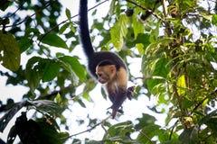 Scimmie affrontate bianche in Costa Rica Immagini Stock Libere da Diritti
