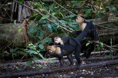 Scimmie affrontate bianche in Costa Rica Fotografia Stock Libera da Diritti
