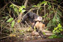 Scimmie affrontate bianche in Costa Rica Immagine Stock Libera da Diritti