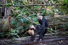 Scimmie affrontate bianche in Costa Rica Fotografie Stock