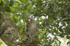 Scimmie asiatiche comuni Immagine Stock