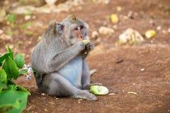 Scimmie in Bali Immagini Stock Libere da Diritti