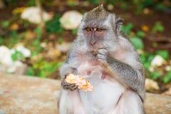 Scimmie in Bali Fotografie Stock