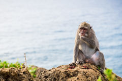Scimmie in Bali Immagine Stock