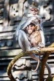 Scimmie, Bali, Indonesia Fotografia Stock