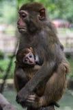 Scimmie: bambino e madre Immagini Stock