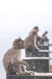 Scimmie in bordo della strada indiano Fotografia Stock Libera da Diritti